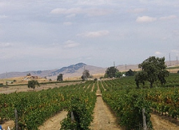 Zinfandel vineyards in the Livermore Valley AVA