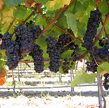 Pinot Noir's Regional Pedigree