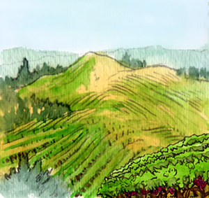 On top of Mount Veeder, all covered in vines...