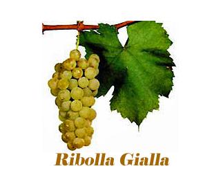 Ribolla Gialla in Napa Valley